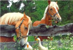 Awe, too sweet, horse checking out the duck over the fence.