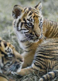 Sumatran Tiger Cubs 24kzone.com