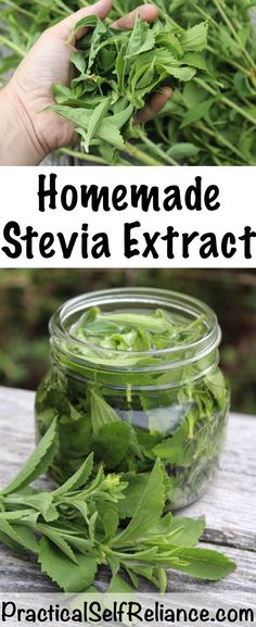 [orginial_title] – SHTF Prepping & Homesteading Central How to Make Stevia Extract (Liquid or Powder) How to Make Stevia Extract or Stevia Powder ~ Home Grown Sugar Free Sweetener Cold Home Remedies, Herbal Remedies, Health Remedies, Natural Remedies, Growing Stevia, Growing Herbs, Calories, Medicinal Plants, Canning Recipes