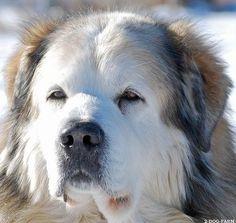 newfoundland dogs   Newfoundland Dogs - World News Forum