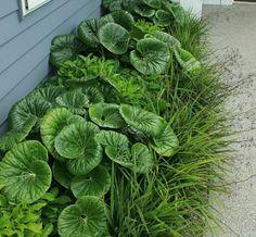 Tractor seat plant contrasts with liriope House Landscape, Landscape Plans, Landscape Design, Plant Design, Garden Design, Backyard Retreat, Outdoor Garden Furniture, Cool Plants, Tropical Garden