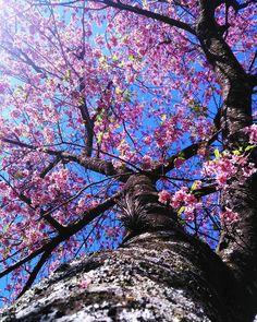 青空とピンク... 綺麗でしょー🎶🙋✨😘🌸 「Praça do Japão 🏯」 . #ig_captures #igers #igdaily #icu_brazil #wu_brazil #ig_parana #nature_shooters #nature #nature_perfection #instamood #flowers #cherryblossoms #tree #bluesky #citylife #cityscape #traveling #travel #curitilover #curitiba #さくら #桜 #木 #自然 #青空 #今空 #綺麗 #素敵 #花 Brazil, City Photo, Instagram Posts