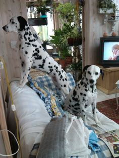Perfect picture! dalmatians watching taylor on tv!!!