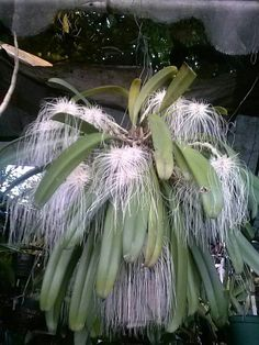 Women's Special: Four-Strategies Flowers Can Modify Your Working Day-To-Day Lifestyle Medusae Bulbophyllum Strange Flowers, Unusual Flowers, Rare Flowers, Types Of Flowers, Amazing Flowers, Weird Plants, Unusual Plants, Exotic Plants, Cool Plants