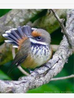 Rufous Fantail, Rhipidura rufifrons: AU, ID, NG, SB