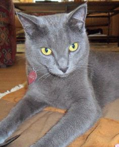 My Russian Blue cat, Lucy.