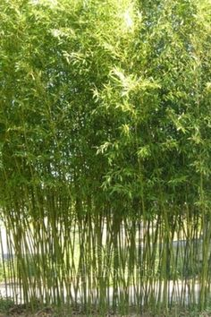 Phyllostachys bissetii for sale