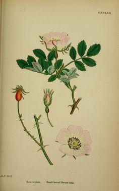 v.3 (1864) - English botany, or, Coloured figures of British plants / - Biodiversity Heritage Library
