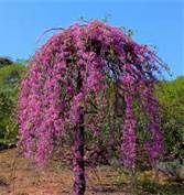 Ruby Falls Redbud tree -This tree can grow up to 6' with a 4' spread. It's the first weeping purple redbud developed. Minimal pruning is needed