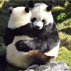 Pandas will often head south they have been helping at panda baby the red panda. Panda Hug, Big Panda, Baby Panda Bears, Cute Panda, Baby Pandas, Panda Babies, Giant Pandas, Red Pandas, Cute Funny Animals