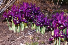 Iris russe