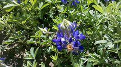 bee on a bluebonnet!