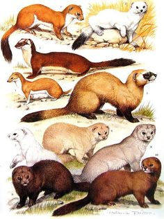 Mustelids: The Weasel Family - AllAboutNature.com