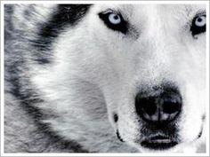 white_wolf-111