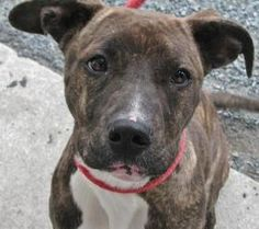 Zena ****COURTESY POST**** is an adoptable Pit Bull Terrier Dog in Baltimore, MD. ****COURTESY POST****     Name: Zena ...  ...
