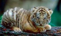 A Tiger Cub.