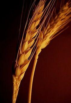 espigas de trigo - Buscar con Google