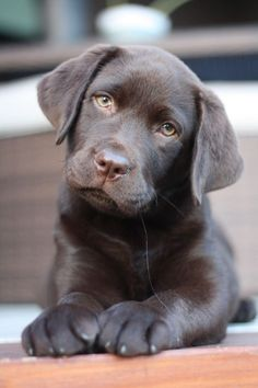 Mind Blowing Facts About Labrador Retrievers And Ideas. Amazing Facts About Labrador Retrievers And Ideas.