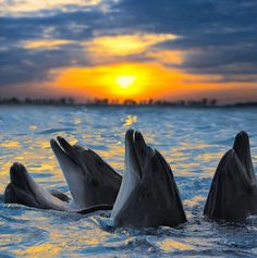 Dolphins At Sunset.