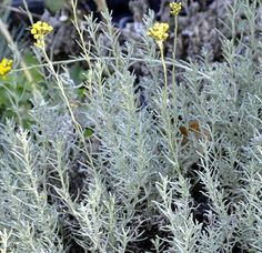 Helichrysum italicum (the curry plant). Beautiful silver leaves, yellow flowers and a very distinctive curry smell make this plant a winner in the sensory garden. Moon Garden, Side Garden, Herb Garden, Garden Plants, Trees To Plant, Plant Leaves, Silver Plant, Helichrysum Italicum, Indoor Flowering Plants