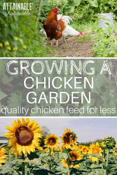 Want to save money on feeding your chickens? Here's how to feed chickens without breaking the bank. Grow your own organic feed! DIY chicken feed is as easy as growing a chicken garden full of foods that will nourish your flock for less. From growing a gar Raising Backyard Chickens, Keeping Chickens, Backyard Farming, Permaculture Garden, What To Feed Chickens, Potager Garden, Herb Garden, The Farm, Small Farm