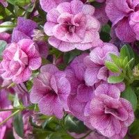 Calibrachoa Can-Can Rosies Pink Vein - Mini-pétunia double - Million Bells.