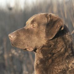 Chesapeake Bay Retriever (this one could be Ox's sibling they look so much alike).
