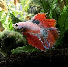 Best Betta Fish Tanks Reviews 2017