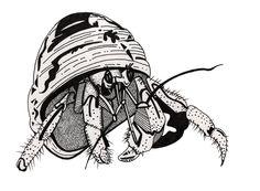 Hermit Crab - Tortola
