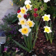 Daffodils grew pretty fast