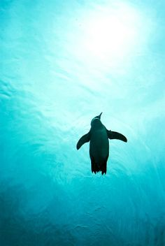 under the sea are penguins! Beautiful Birds, Animals Beautiful, Cute Animals, Penguin Love, Cute Penguins, Wale, All Nature, Tier Fotos, Ocean Life