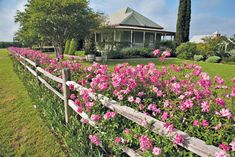 An 'Old Blush' hedge grows along a split-rail fence. Photos courtesy of Mike Shoup.