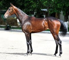 Olympiad is a 6 year old Akhal-Teke mare. Most Beautiful Horses, All The Pretty Horses, Beautiful Gorgeous, Hello Gorgeous, Thouroughbred Horse, Horse Care, Beautiful Creatures, Animals Beautiful, Akhal Teke Horses