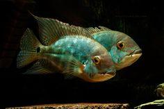 HECKEL, Common Name: Parrot Cichlid Cichlid Aquarium, Cichlid Fish, Tropical Freshwater Fish, Freshwater Aquarium Fish, Tropical Fish, South American Cichlids, Oscar Fish, Monster Fishing, Fish Breeding