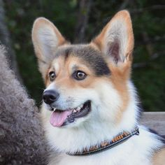 Corgi.....what a gorgeous face!