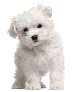 kleine hond  met foto | Top 10 Kleine Hondenrassen (Foto & Beschrijving)…
