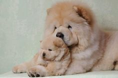Chow-chow is a very ancient breed of dogs known to man for at least 2000 years. Little Puppies, Cute Puppies, Dogs And Puppies, Animals And Pets, Baby Animals, Cute Animals, Beautiful Dogs, Animals Beautiful, Pet Dogs