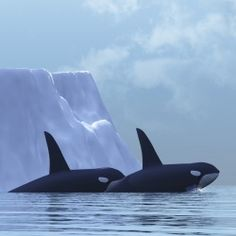 I've always wanted to go swim with Orca whales in Norway. Look at this amazing photo of them in their natural habitat. Svalbard, Norway (Svalbard is a remote place, situated between the Norwegian mainland and the North Pole) Lofoten, Orcas, Oslo, Beautiful Creatures, Animals Beautiful, Oh The Places You'll Go, Places To Visit, Regard Animal, Into The Wild