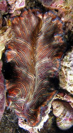 Persian Flatworm - Pseudobiceros bedford Life Under The Sea, Under The Ocean, Sea And Ocean, Ocean Beach, Beautiful Creatures, Animals Beautiful, Sea Slug, Life Aquatic, Underwater Life