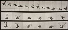 Available for sale from Huxley-Parlour, Eadweard Muybridge, Animal Locomotion: Plate 755 (Pigeon in Flight Collotype Print, 7 × 15 in History Of Photography, School Photography, Photography Lessons, Sequence Photography, Principles Of Animation, Eadweard Muybridge, Getty Museum, Animation Reference, Drawing Reference