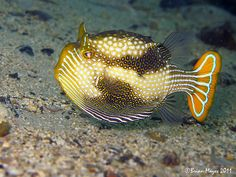 Ornate Cowfish....Imagine God and all that we see is His!