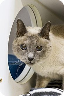 Baton Rouge, LA - Siamese. Meet Sassy, a cat for adoption. http://www.adoptapet.com/pet/13704493-baton-rouge-louisiana-cat