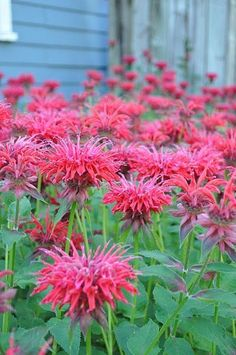 bee balm~ another of my favorites. It spreads pretty quick so only get one plant if you want it multiple places. Just wait a year and you can transplant