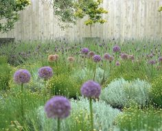 Gray and glaucous foliage planted en masse need not be boring. In the last decade, alliums, especially the large globe varieties, have become very popular as accent plants. Here they stand over a mixed planting of 'Cotton Lavender', Santolina chamaecyparissus, and French lavender, Lavandula stoechas. Their purple flowers resonate with the butterfly-shape lavender flowers and bring life to the border.