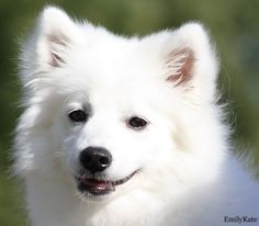 Japanese Spitz do not need to have have their coat clipped and clipping a Japanese Spitz will lessen their coat's ability to insulate them from both the heat and cold. Japanese Spitz don't have to be washed typically along with the a lot more they may be washed the far more of their all-natural oils that support to preserve their lovely coat is going to be removed.