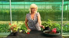 Overwintering Geraniums the Vernon way