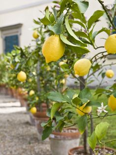 Lemons are just one out of many fruit trees that can be planted in pots.. this is how one might look like.