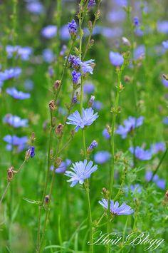 wild Chicory in Oland, Sweden Flower Fairies, My Flower, Meadow Flowers, Wild Flowers, Herb Garden In Kitchen, Church Flowers, Shades Of Green, Spring Flowers, Gardening Tips