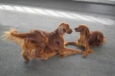The Irish Setter   …  a rollicking personality (Hugo the flirt – having a game …. with Reyne)