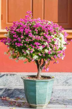 Courtyard plants - How To Grow and Care For Bougainvillea – Courtyard plants Tropical Landscaping, Outdoor Landscaping, Tropical Garden, Outdoor Plants, Patio Plants, House Plants, Patio Trees, Potted Trees, Flowering Trees